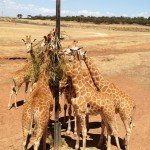 A Week at Monarto Zoo